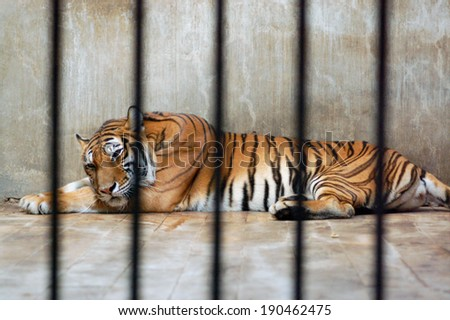 Tiger in zoo #190462475