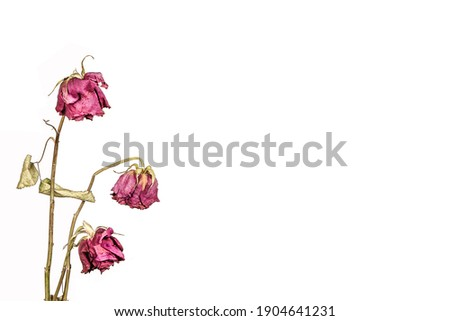 Withered Roses isolated on white background. Concept of aging, sadness and fading away.  Royalty-Free Stock Photo #1904641231