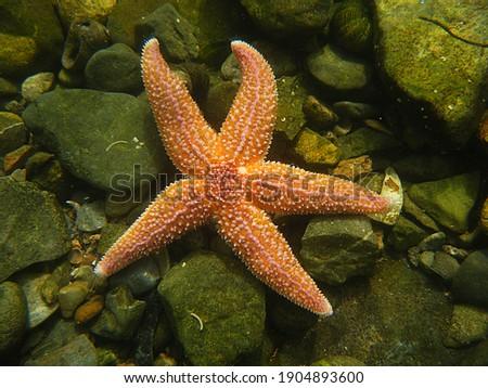 Common Starfish, Asterias rubens. Taken Torbay, England. Royalty-Free Stock Photo #1904893600