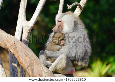 View of a mother baboon holding her baby