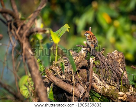 Russet sparrow perched on a tree trunk in Borong, India