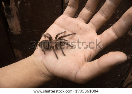 Photo of tlitocatl albopilosus or honduran curly hair tarantula spider. Good for education and wildlife project.
