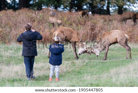 Two young children taking pictures of fighting red deer stags in a park, London, UK.
