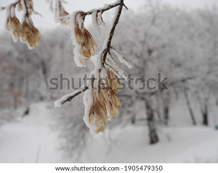 Snow-covered maple seeds in rows, closeup, winter forest Royalty-Free Stock Photo #1905479350