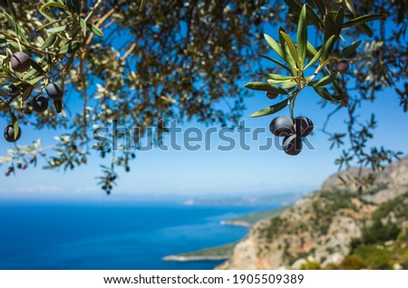 Organic ripe olives growing on olive tree with mediterranean coast background, Close up black olive fruit on tree branch, Eco farm products, healthy vegetarian food Royalty-Free Stock Photo #1905509389