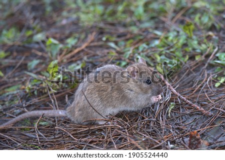 Brown rat foraging for food on the woodland floor.