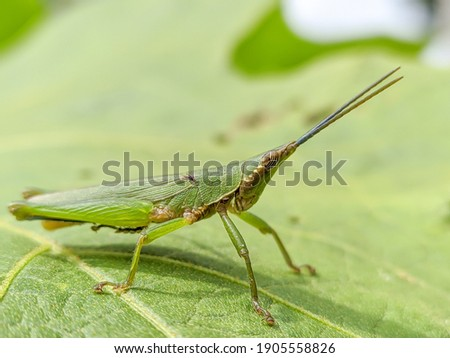grasshopper with a color that blends in with the leaf color. This image is suitable for lessons, science, articles, display pictures etc.