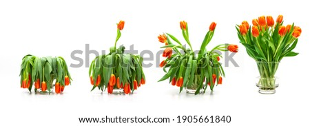 Tulip bouquet sequence from faded to blossomed Royalty-Free Stock Photo #1905661840