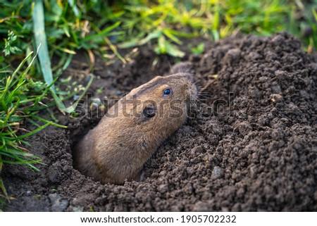 Valley Pocket Gopher (Thomomys bottae) emerging from the burrow.