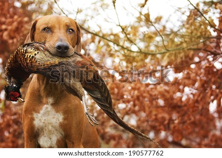 Sitting Ridgeback holds in its mouth pheasant Royalty-Free Stock Photo #190577762