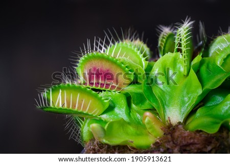 Venus fly trap is on of the carnivore plants Royalty-Free Stock Photo #1905913621