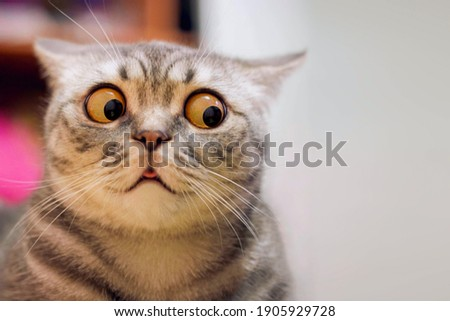 Skeptic surprised cat thinking  dont know what to do, big eyes closeup. Tabby cat look side dont know, funny face. Cute tabby cat looking scared, thinking. Wide eyed kitten dont know why, portrait Royalty-Free Stock Photo #1905929728