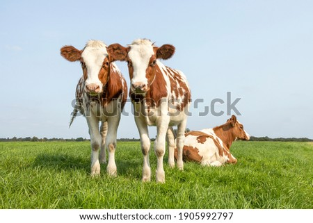 Two cute calves, tender love portrait of two cows, lovingly together, with dreamy eyes, red and white in a green meadow and blue sky, horizon over land Royalty-Free Stock Photo #1905992797