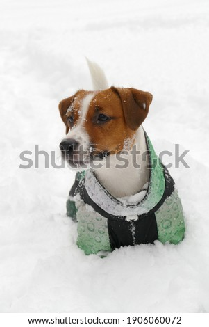 Jack russel terrier face, winter close up outdoors portrait in deep snow.