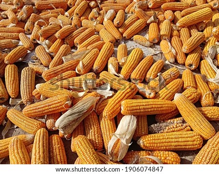 Corn are drying in the hot sun. Photography of corn product. Pile of ripe corn after harvesting. Sweet corn picture. Used for food ingredients and lots of nutrients. Selective focus