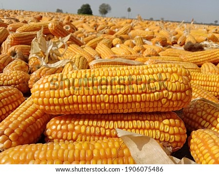 Close up capture of yellow corn. Photography of corn product. Pile of ripe corn after harvesting. Sweet corn picture. Used for food ingredients and lots of nutrients. Selective focus