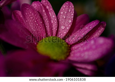Macro shot of purple gerbera flower head with raindrops on petals. Close up photograph with bokeh background. Summer beauty and natural organic graphic resource for screensaver, canvas, backgrounds