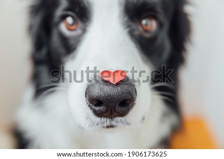 St. Valentine's Day concept. Funny portrait cute puppy dog border collie holding red heart on nose on white background. Lovely dog in love on valentines day gives gift Royalty-Free Stock Photo #1906173625