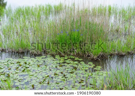Spring swamp iris laevigata and water lily leaves