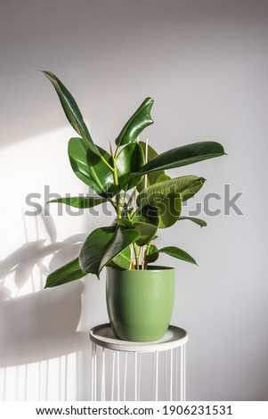 Beautiful lush shiny ficus elastica robusta in a green decorative pot. Trending houseplants Royalty-Free Stock Photo #1906231531
