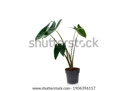 Alocasia zebrina houseplant on black pot isolated on white background. This plant for decoration interior the house. Royalty-Free Stock Photo #1906396117