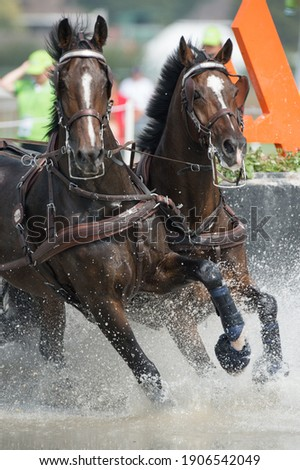 Horses competing in carriage driving competition in full harness and leg protection boots going through water obstacle Royalty-Free Stock Photo #1906542049
