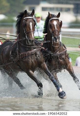 Horses competing in carriage driving competition in full harness and leg protection boots going through water obstacle Royalty-Free Stock Photo #1906542052