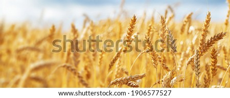 Close up of wheat ears, field of wheat in a summer day. Harvesting period Royalty-Free Stock Photo #1906577527