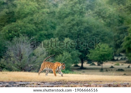 wild bengal tiger on stroll with tail up for territory marking in natural green scenic landscape background at Ranthambore National Park or Tiger Reserve Rajasthan India - panthera tigris tigris Royalty-Free Stock Photo #1906666516