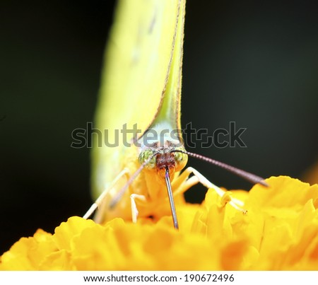 small and yellow butterfly on flower #190672496