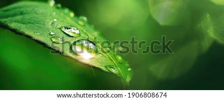 Beautiful large drop morning dew in nature, selective focus. Drops of clean transparent water on leaves. Sun glare in drop. Image in green tones. Spring summer natural background. Royalty-Free Stock Photo #1906808674