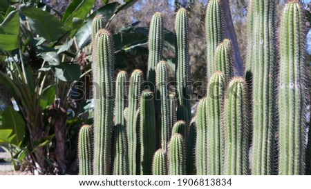 Cactus succulent plant, California USA. Desert flora, arid climate natural flower, botanical close up background. Green ornamental unusual houseplant. Gardening in America, grows with aloe and agave. Royalty-Free Stock Photo #1906813834