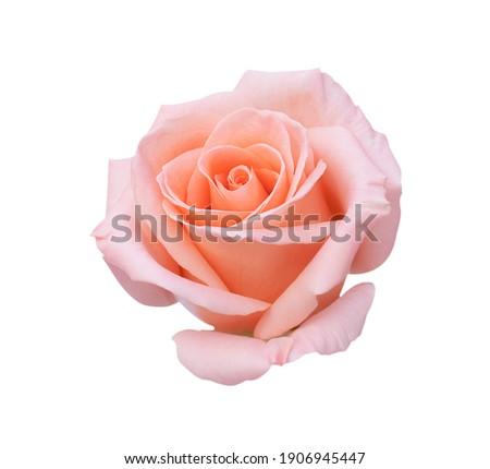 Pink rose flower isolated on white background, soft focus and clipping path Royalty-Free Stock Photo #1906945447