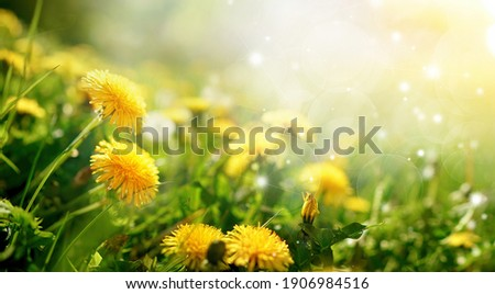 Beautiful flowers of yellow dandelions in nature in warm summer or spring on meadow  in sunlight, macro. Dreamy artistic image of beauty of nature. Soft focus. Royalty-Free Stock Photo #1906984516
