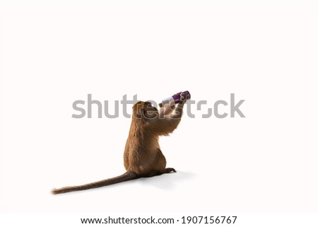 Isolated picture of a monkey sitting on a white background. He was looking for something to eat by raising the empty bottle. Feel the impact of human invasion on wildlife.