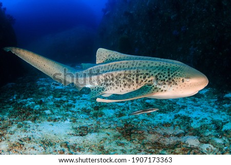A curious Zebra Shark (stegostoma fasciatum) on a deep, underwater tropical reef. Royalty-Free Stock Photo #1907173363