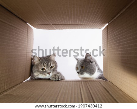 Grey beautiful cat, peeks into the cardboard carobka, curious pet checks interesting places. Copy space.