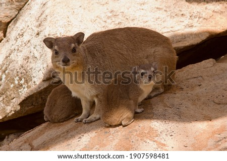 The female Bush Hyrax has a strong attachment to her young and when she has to go off to feed the young instinctively group together in creches for safety in numbers Royalty-Free Stock Photo #1907598481