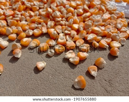Corn kernels are drying. Photography of corn product. Selective focus (Blurred picture) corn grains background. Sweet yellow corn picture. Used for food ingredients and lots of nutrients.