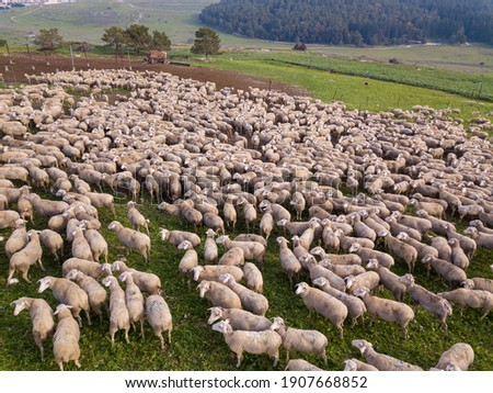 Herd of white sheep grazing in a Green landscape. Royalty-Free Stock Photo #1907668852