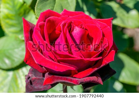 Rose 'Deep Secret' (rosa) a summer flowering fragrant hybrid tea bush plant with a red summertime double flower from June until September, stock photo image