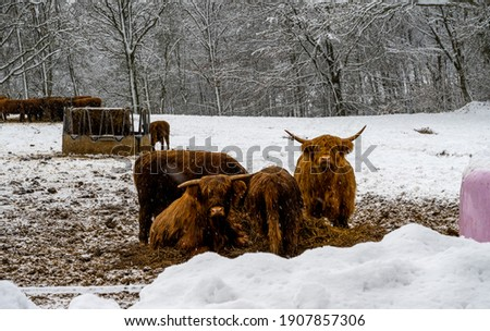 Highland cattle in a winter landscape covered with snow. Picture from Scania county, Sweden
