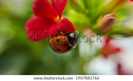 Ladybug close-up with nature background.  Insect ladybug sits on red flower Royalty-Free Stock Photo #1907883766