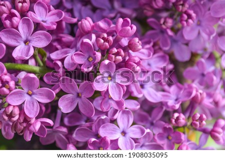 Branch with lilac spring flowers. There are large lilac flowers on a branch of a lilac tree. Spring nature. Royalty-Free Stock Photo #1908035095