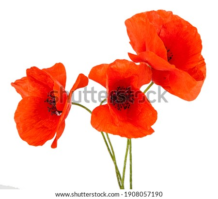 Red poppy flower isolated on a white background. View of another flower in the portoflio.