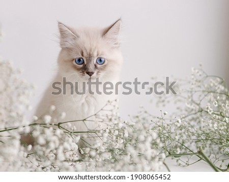 Beautiful white kitten with blue eyes. Neva Masquerade breed. Easter greeting card background. Kitty with flowers, spring mood.  Gentle tone saver . Cute melancholy furry adorable pet wallaper. Tender Royalty-Free Stock Photo #1908065452