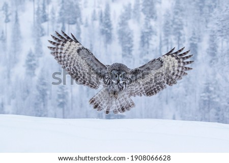 Powerful bird of prey, Great Grey Owl, Strix nebulosa landing with spread wings hunting for its prey in Finnish taiga forest Royalty-Free Stock Photo #1908066628