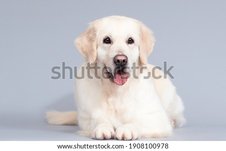 golden retriever dog lies on a gray background Royalty-Free Stock Photo #1908100978