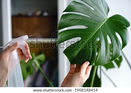 Woman spraying Monstera houseplant, moisturizes leaves during the heating season at home. Greenery at home. Love of plants, hobby. Indoor cozy garden. Royalty-Free Stock Photo #1908148414