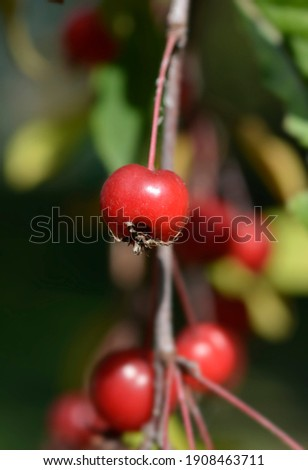 Crabapple Royal Beauty - Latin name - Malus Royal Beauty Royalty-Free Stock Photo #1908463711